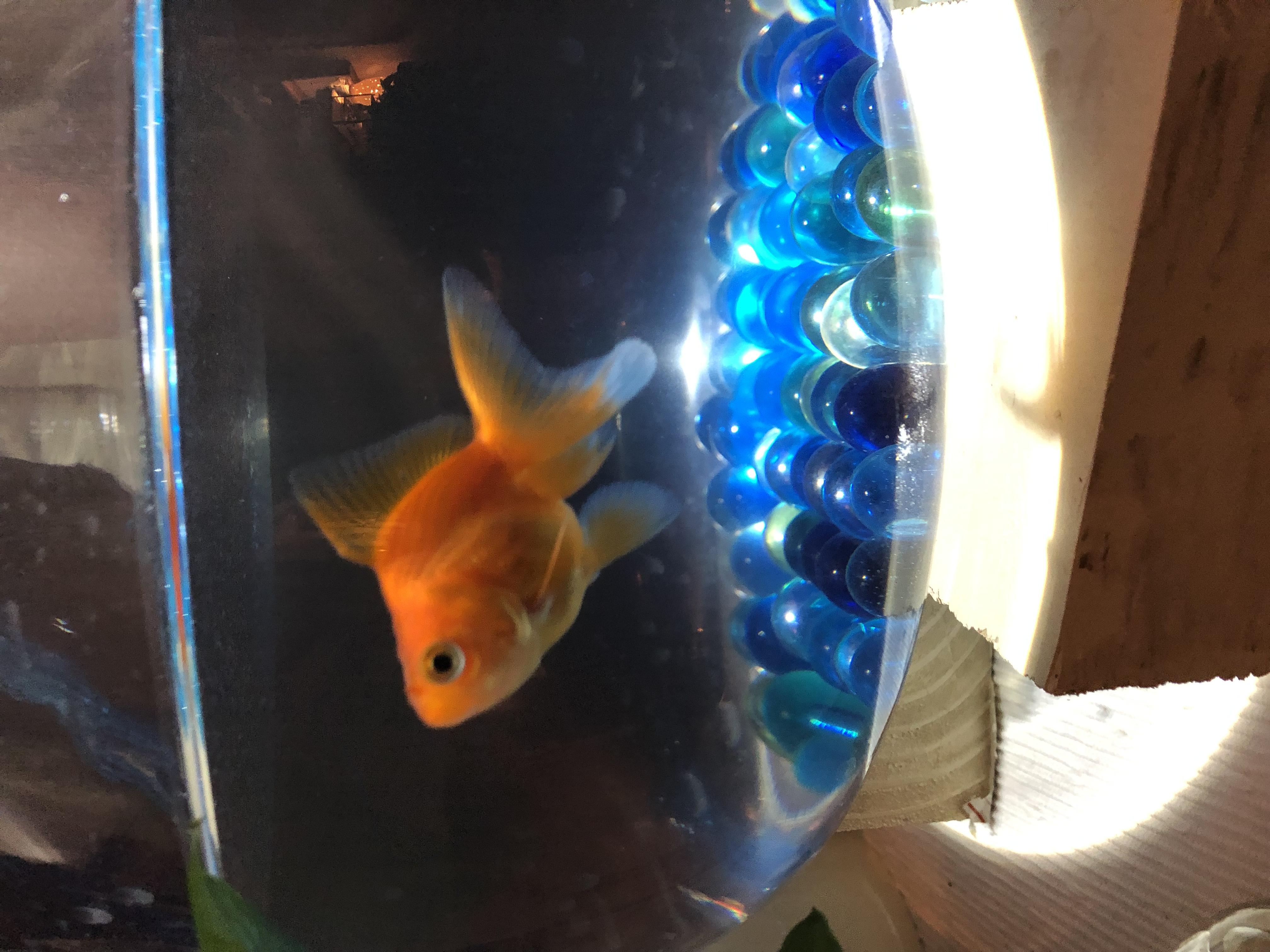 金魚  ☆もももちゃん☆